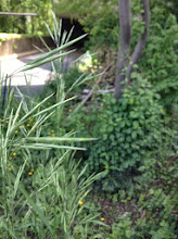 Photo: Switchgrass: Panicum virgatum A perennial warm season bunchgrass native to North America, where it occurs naturally from 55°N latitude in Canada southwards into the United States and Mexico. Switchgrass is one of the dominant species of the central North American tallgrass prairie and can be found in remnant prairies, in native grass pastures, and naturalized along roadsides.