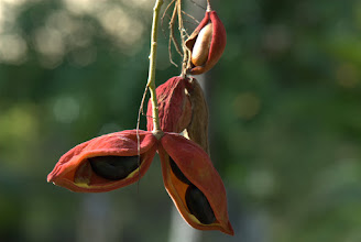Photo: Sterculia balangas (frutti)