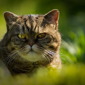 Mad Max by Mathias Ahrens - Animals - Cats Portraits