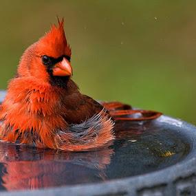 Cardinals love water by Robert Strickland - Animals Birds ( cardinal, birds,  )