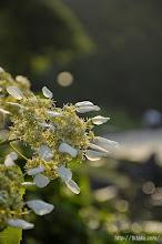Photo: そして「イワガラミ」も早咲きの花たちだ。(2014,05,25)