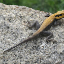 Peninsular Rock Agama (male)