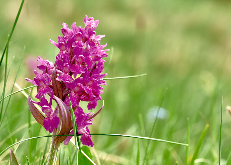 Orchidea selvatica di iSimo