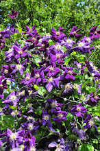 Photo: Clematis 'Jackmanii Superba' habitus