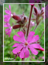 Photo: Compagnon rouge, Silene dioica