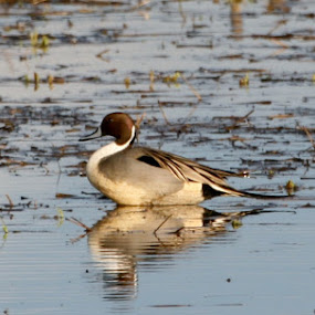 Pintail Drake by Brent Monique Makenzie Moran - Animals Birds ( water, bird, field, waterfowl, blue, duck, white, grey, brown, black,  )