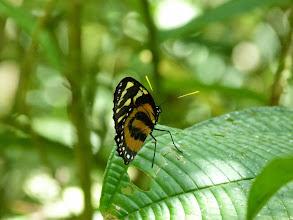 Photo: TIGER MIMIC-QUEEN---lycorea halia--RIO PINGULLO