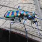 Golden-spoted Tiger beetle
