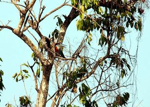 Photo: Martín gigante africano (Megaceryle maxima)