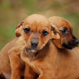 Mischievous Puppies by Jessica Rose - Animals - Dogs Puppies ( cuddly, mischievous, dogs, weinerdogs, puppies, cute,  )