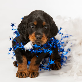 Stuck in the stars! by Christine Lester-Deats - Animals - Dogs Puppies ( gordon setter puppy, feather boa, blue, patriotic, tangled, stars, pwcpuppies )