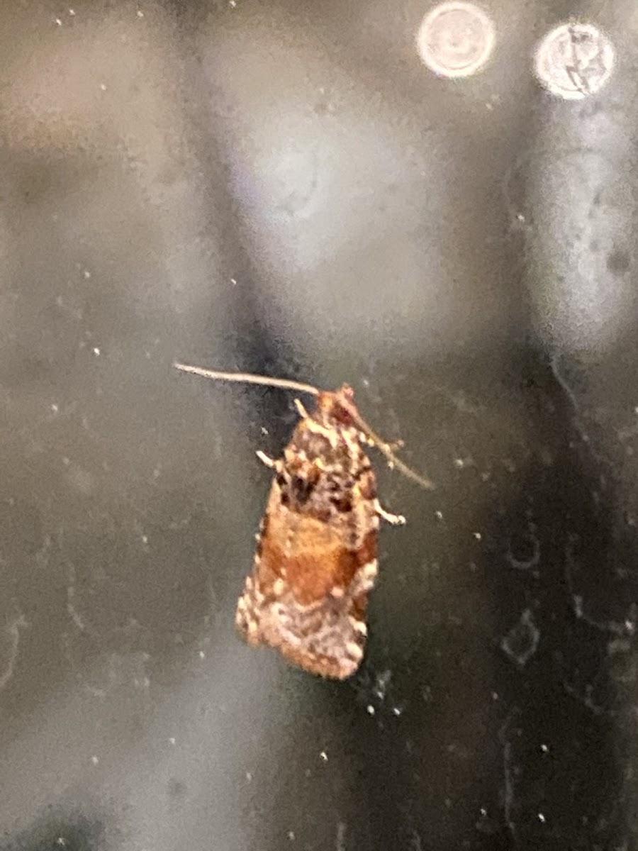 Kimball's Leafroller Moth