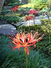 Photo: 2006年09月25日 お彼岸  彼岸花の咲く頃 伯父が旅立って行った。 「よー来てんだった」と いつも笑顔で迎えてくれた。  合掌