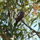 Cockatiel (male)