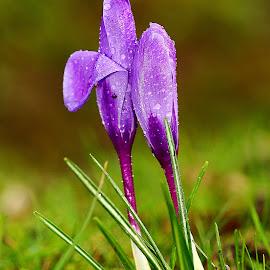 Crocus n00112 by Gérard CHATENET - Flowers Single Flower