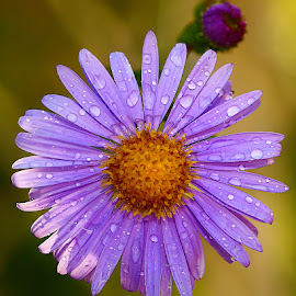 Aster alpinus by Gérard CHATENET - Flowers Single Flower