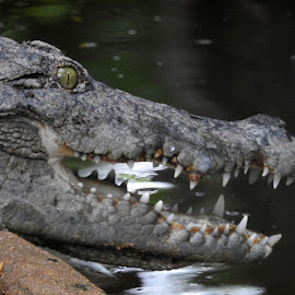 Crocodile by Govindarajan Raghavan - Animals Reptiles