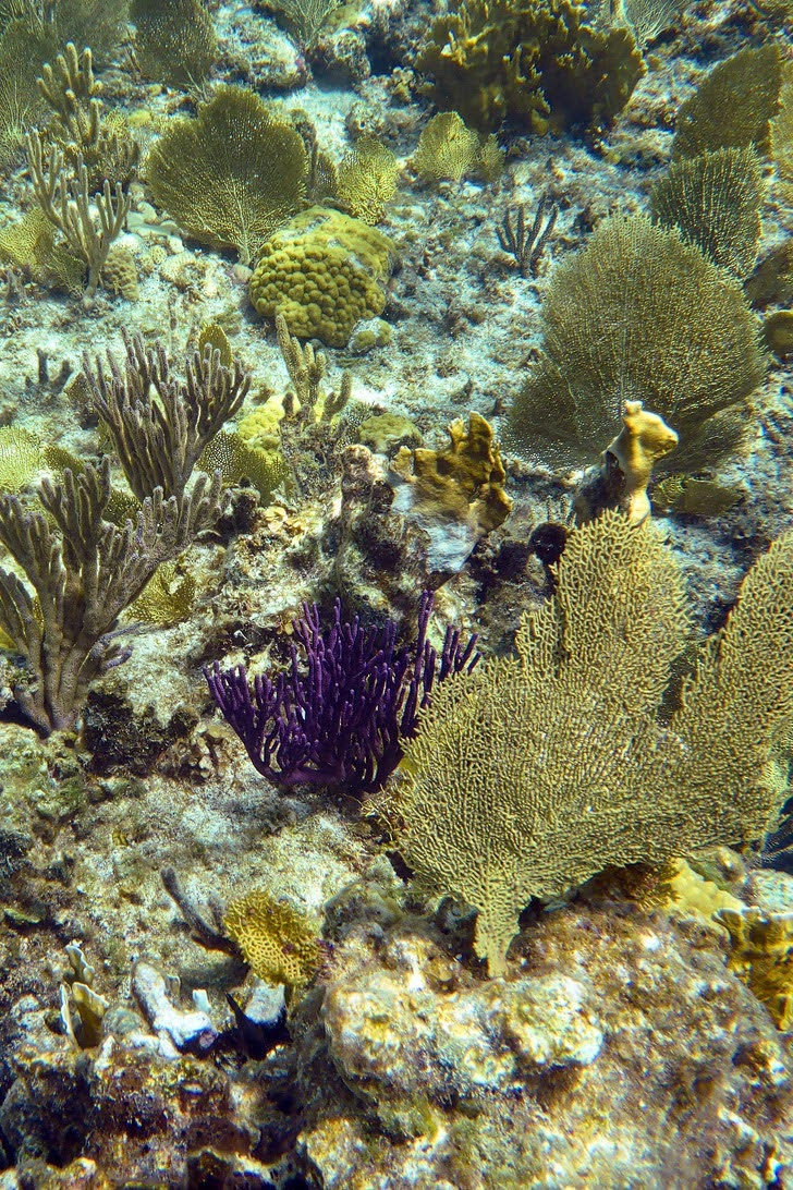 Gorgonians while Snorkeling Turks and Caicos Island.