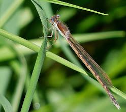 Photo: Gemeine Federlibelle (Platycnemis pennipes)? 1