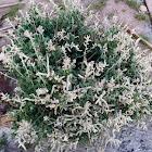 Desert cotton