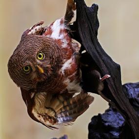 THE MARBLE EYES #2 by Ian Sumatika - Animals Birds