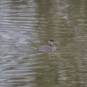 Red Necked Grebe (Winter Plumage)