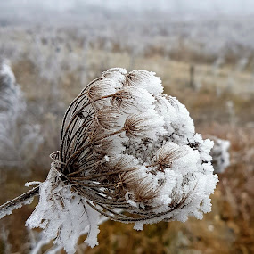 icy flower by Marin Mavra - Nature Up Close Other plants ( macro flower, macrophotography, winter flower, icy, macro photography, frost, nature close up, beauty, beauty in nature, frozen, macro shot, macro, winter, gentle, cold, nature, delicate, frosting, nature up close, frosty, frosted )