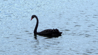 Photo: In spite of all this thermal activity, we saw several beautiful black swans.