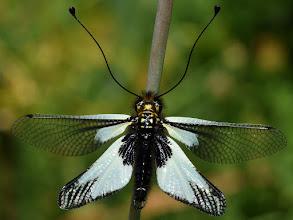 Photo: Libelloides sp.