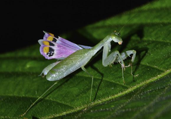 Elegance Praying Mantis Project Noah