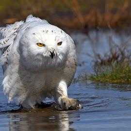 Snowy Owl walking in the water by Steven Liffmann - Animals Birds ( snowy owl,  )