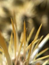 Photo: Cholla cactus #iPhone6Splus #macro