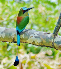 Photo: Sägeracke (Eumomota superciliosa) Nationalvogel von Nicaragua und El Salvador.