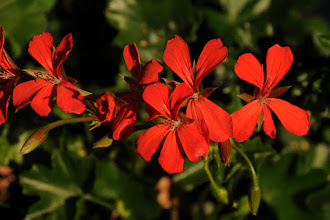 Photo: Original photo - red geraniums