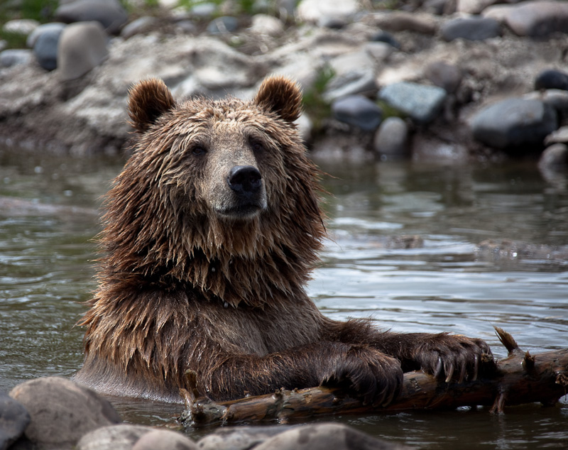Montana Grizz by Brent Morris - Animals Other Mammals (  )