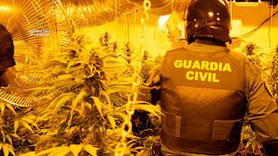Plantas intervenidas por la Guardia Civil.
