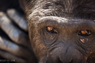Photo: Through the eyes of a chimp Sweetwaters Chimpanzee Sanctuary, Kenya Additional photos on my website at http://www.kylefoto.com  The chimpanzee is the closest living relative to humans, capable of using tools, deception, planning ahead and hunting with sophisticated tactics. These chimps however are not native to Kenya, as they have been brought to the sanctuary for refuge as orphans from abusive situations and war torn area from west and central africa. The Sweetwaters Chimpanzee sanctuary allied with the Jane Goodall Institute was thus created as a permanent residence to our expressive and vibrant cousins.  Photographic Details: Humans and chimps are both able to establish a connection visually. I wanted to express this with a detail shot of the chimpanzee's eyes, since they are such a telling and powerful part of this apes expressions. In addition the chimps were behind a fence, as these are wild chimps who's own private space needs to be respected. The best way to get a shot without having wires in the way was zooming in for detail between gaps in the fence. In addition I only wanted the eyes to be in focus, using an aperture of f2.8 there is no denying the eyes are the focal point of this image. I also waited for this chimp to pose with her arm on her shoulder, as I watched her do this before. This just barely showing her fingers in the background provides a little more visual evidence that these apes are so much like us.  1/160s f/2.8 ISO160 200mm  More on the sanctuary here: http://olpejetaconservancy.org/why/chimpanzees