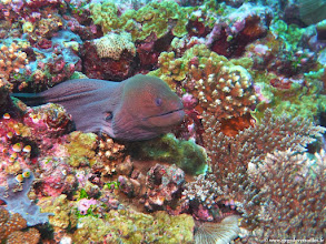 Photo: #009-Murène de Java sur le site de One Palm Reef-Euro-Divers Club Med Kani.