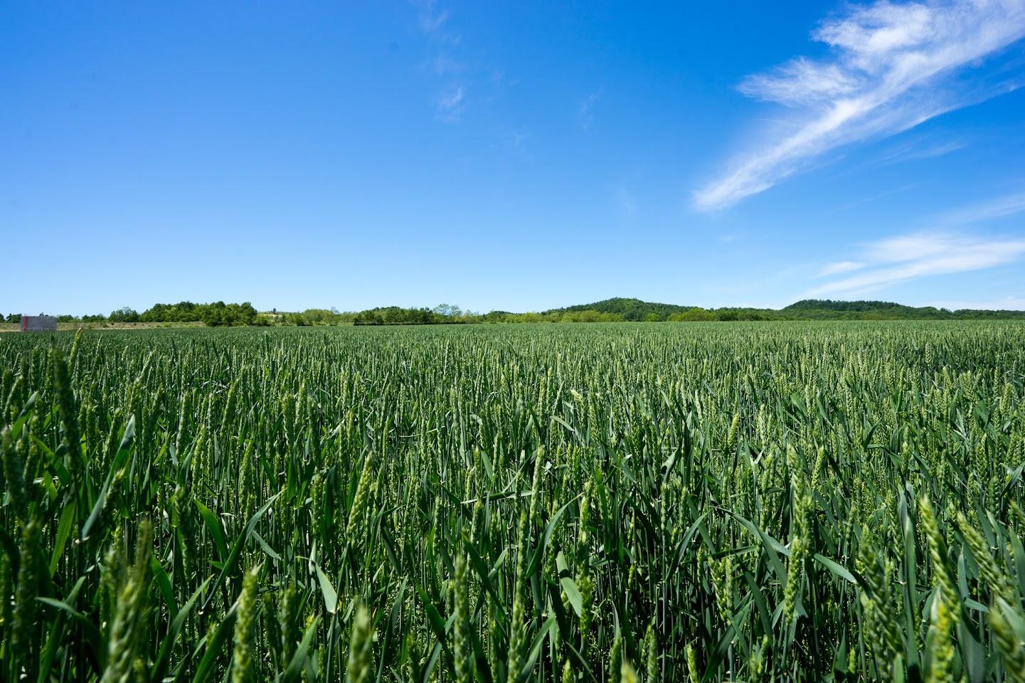 緑濃い麦畑