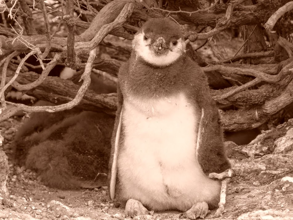 Pingüinos de Magallanes en Punta Tombo