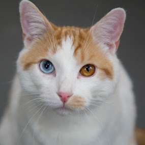 Milo by Michele Williams - Animals - Cats Portraits ( orange, cat, ginger, resue, blue, adopt, white, eyes,  )