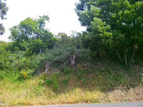 Photo: East side of Grizzly Peak. Four eucalyptus stumps from a partial removal.