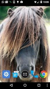 shetland pony wallpaper - náhled