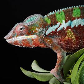 Christmas Coloured Chameleon by Jen St. Louis - Animals Reptiles ( chameleon, profile, panther chameleon, reptile, portrait, lizard, pet,  )