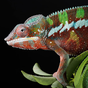 Christmas Coloured Chameleon by Jen St. Louis - Animals Reptiles ( chameleon, profile, panther chameleon, reptile, portrait, lizard, pet,  )