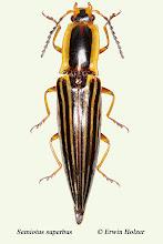 Photo: Semiotus superbus (2), 27 mm, Costa Rica, San Gerardo de Dota, (09°35´/-83°48´), leg. & det. Erwin Holzer
