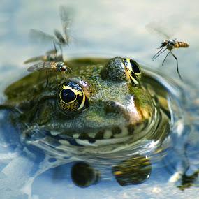 by Vukosava Radenovic - Animals Amphibians (  )