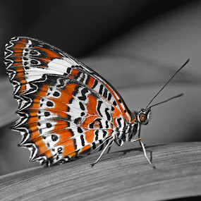 Orange Lacewing by Lee Newman - Animals Insects & Spiders ( lacewing, orange, butterfly, insect, black and white, accent,  )