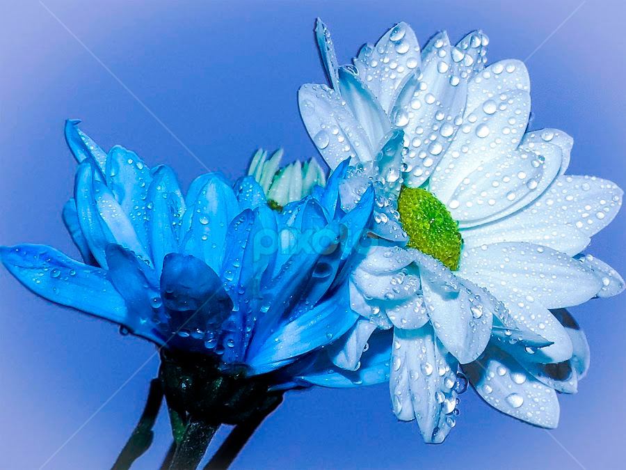 white and blue by LADOCKi Elvira - Flowers Flower Arangements ( nature, color, flowers, garden,  )
