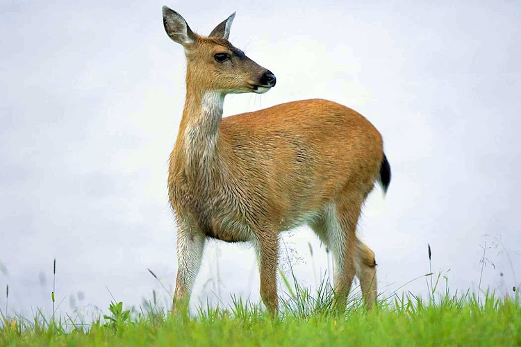 The Sitka black-tailed deer,  a subspecies of mule deer, spotted on the outskirts of Sitka.